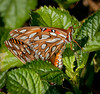 • Arnold's Butterfly Heaven<br /> • Gulf Fritillary Butterfly - If you look closely you will see butterflies join at their tails