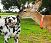 • Photographed by Ursula Dubrick<br /> • This is really mutual affection between a dog and deer