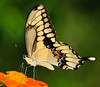 Gaint Swallowtail Butterfly