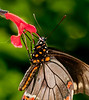 • Arnold's Butterfly Heaven<br /> • Polydamas Swallowtail Butterfly