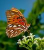 • Arnold's Butterfly Heaven<br /> • Gulf Fritillary Butterfly