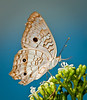 • Arnold's Butterfly Heaven<br /> • White Peacock Butterfly with a natural blue sky background