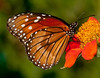 • Arnold's Butterfly Heaven<br /> • Queen Butterfly