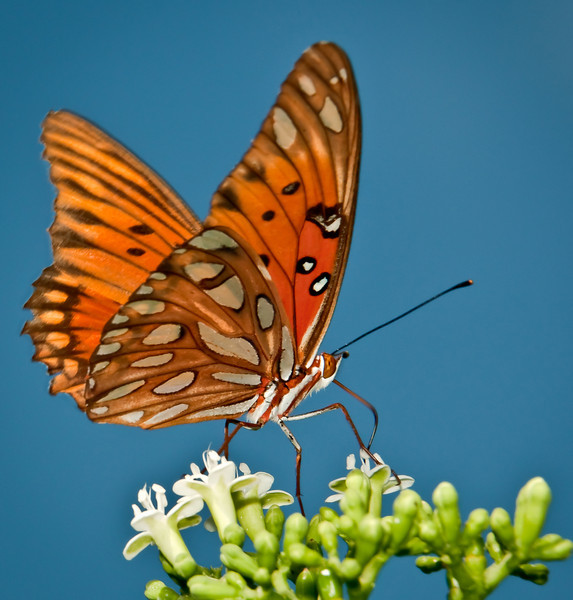 • Arnold's Butterfly Heaven<br /> • Gulf Fritillary Butterfly with a natural blue sky background