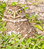 • Burrowing Owl<br /> • Even those you think you are camouflage, I can see you