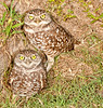 • Burrowing Owl<br /> • Now, do you like this posed better?
