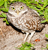 • Burrowing Owl<br /> • Yes, I like this pose better