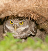 • Burrowing Owl<br /> • I got both of my eyes on you