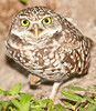• Burrowing Owl<br /> • You are starting to bug me because you are taking to many photos of me