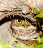 • Burrowing Owl<br /> • I spotted another Burrowing Owl hiding in its hole and I think it spotted me too