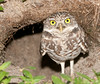 • Burrowing Owl<br /> • OK I'm coming out of my hole to see what you are up to