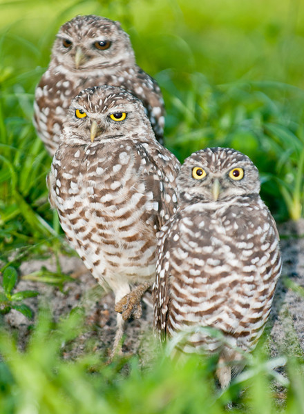 • Burrowing Owls at Brian Piccolo Park<br /> • There is only one owl concerned about me being so close
