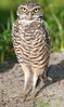 • Burrowing Owls at Brian Piccolo Park<br /> • He standing at attention