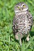 • Burrowing Owls at Brian Piccolo Park<br /> • What big yellow eyes you have!