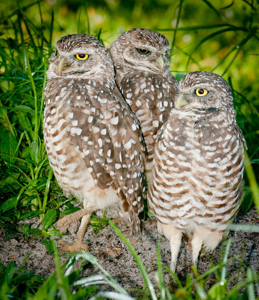 • Burrowing Owls at Brian Piccolo Park<br /> • This is togetherness