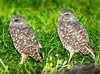 • Burrowing Owls at Brian Piccolo Park<br /> • Mr Brown eyes is on the left