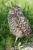 • Burrowing Owls at Brian Piccolo Park<br /> • It's time for my nap!
