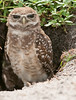 This is an unusual Burrowing Owl's eyes with brown corneas.