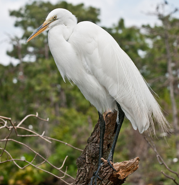 A Great White Egret