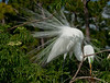 The Great Egret spreading its plumage