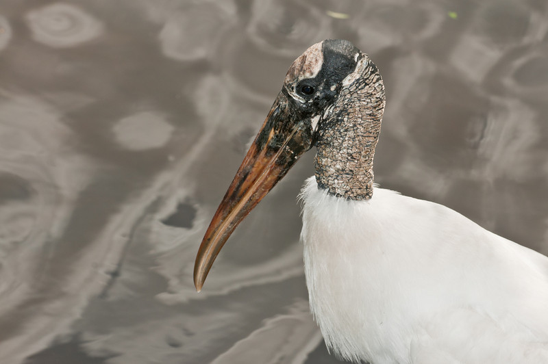 A Wood Stork with an interesting background