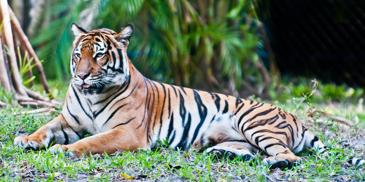 • Malayan Tiger at the Palm Beach Zoo<br /> • Just posing for my picture