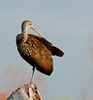 • Green Cay Nature Center<br /> • Limpkin pruning itself