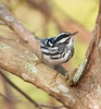 • Green Cay Nature Center<br /> • Black-&-white Warbler