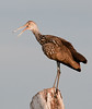 • Green Cay Nature Center<br /> • Limpkin calling to its mate