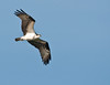 • A-R-M Loxahatchee National Wildlife Refuge<br /> • Osprey in flight