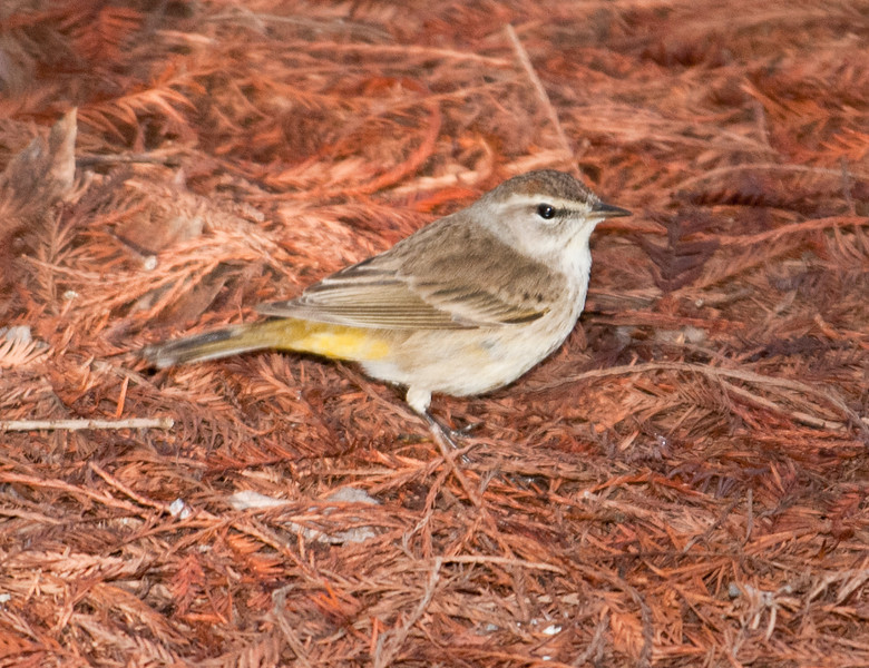 • Green Cay Nature Center<br /> • Palm Warbler
