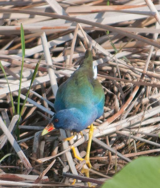 • A-R-M Loxahatchee National Wildlife Refuge<br /> • Purple Gallinule looking for something to eat