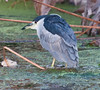 • Green Cay Nature Center<br /> • Black-Crowned Night Heron