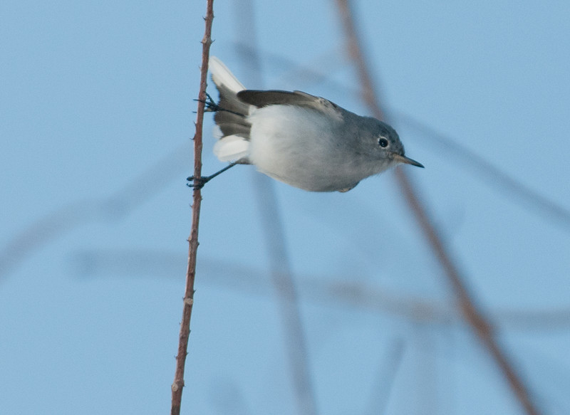 • Green Cay Nature Center<br /> • Blue-Gray Gnatcatcher