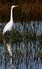 • A-R-M Loxahatchee National Wildlife Refuge<br /> • Great White Egret with its reflection