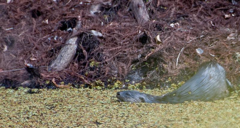 • A-R-M Loxahatchee National Wildlife Refuge<br /> • Otter going for swim