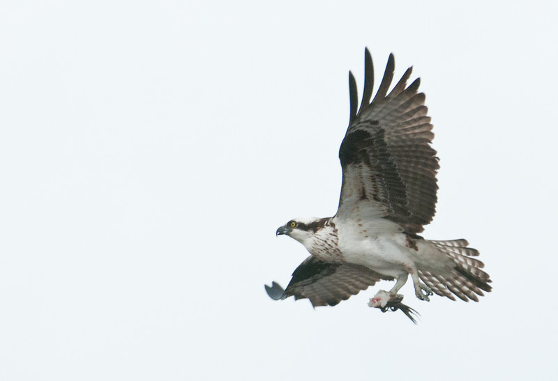 • Osprey that were photographed at Blue Cypress Lake<br /> •  What happen to the other part of the fish?