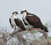 • Osprey that were photographed at Blue Cypress Lake<br /> • Okay I'm ready to have a civil conversation