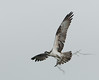 • Osprey that were photographed at Blue Cypress Lake<br /> • He bringing some nesting material back to its nest