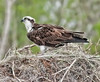 • Osprey that were photographed at Blue Cypress Lake<br /> • Just hanging out at my new nest