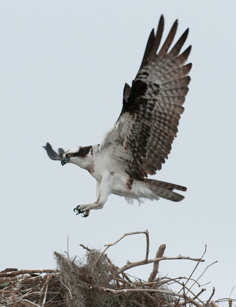 • Osprey that were photographed at Blue Cypress Lake<br /> • I'm coming in for my landing