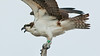 • Osprey that were photographed at Blue Cypress Lake<br /> • They're tagging Osprey to keep track of their migration habits