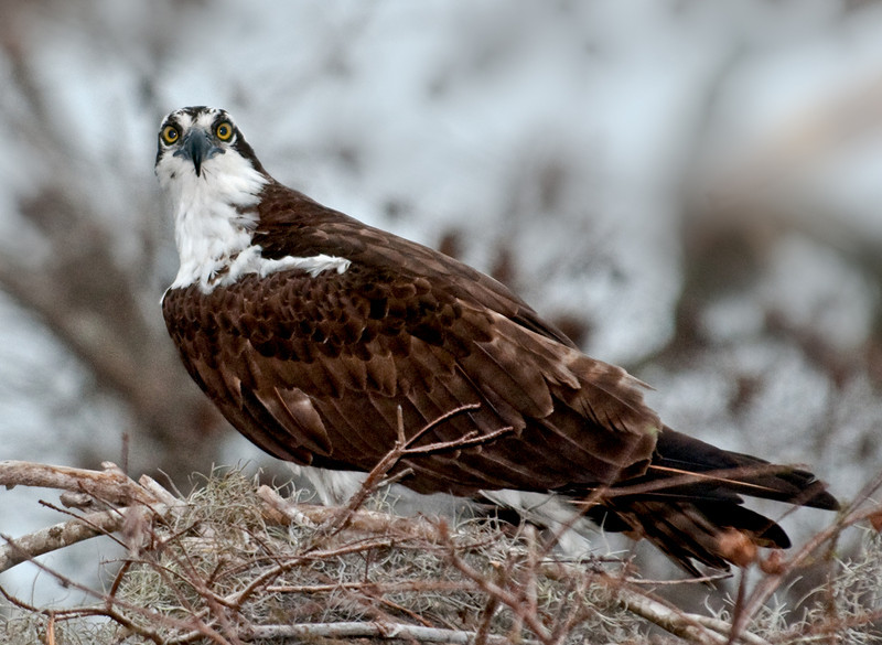• Osprey that were photographed at Blue Cypress Lake<br /> • Look into my eyes