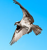 • Osprey that were photographed at Blue Cypress Lake<br /> • It took me an hour and half to add this blue sky to this photo