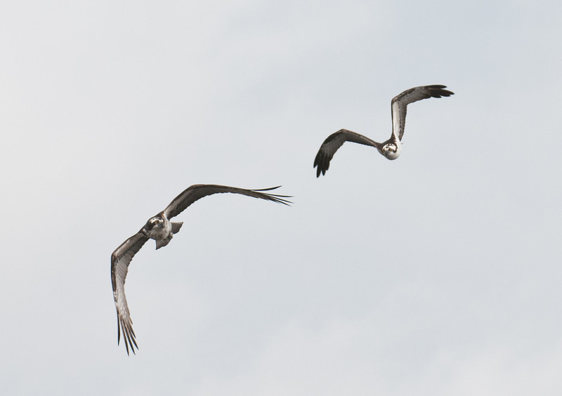 • Osprey that were photographed at Blue Cypress Lake<br /> • I'm catching up to you