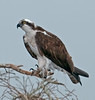 • Osprey that were photographed at Blue Cypress Lake<br /> • Take a look at my talons. Those are very sharp