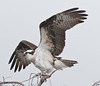 • Osprey that were photographed at Blue Cypress Lake<br /> • Just landed