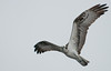 • Osprey that were photographed at Blue Cypress Lake<br /> • What a big wing span