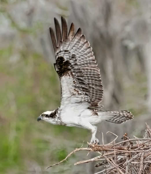 • Osprey that were photographed at Blue Cypress Lake<br /> • Ready for take off