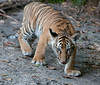 The Malayan Tiger and Cubs at the Palm Beach Zoo